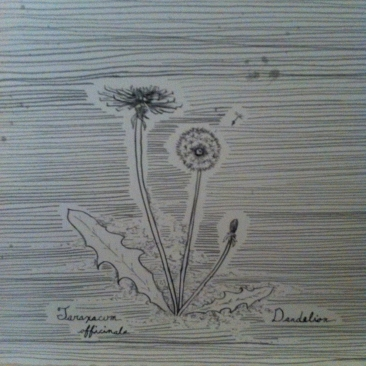 Detail of pen and ink drawing of a Dandelion.